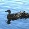 Mother_and_baby_ducks